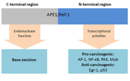 Functions of APE1/Ref-1.