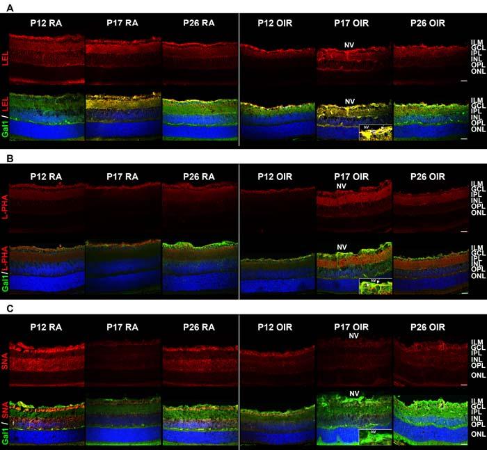 Glycosylation profile of RA and OIR mouse retinas.