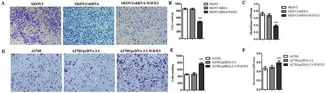 Effect of WAVE3 on cell migration in SKOV3 and A2780 cells.