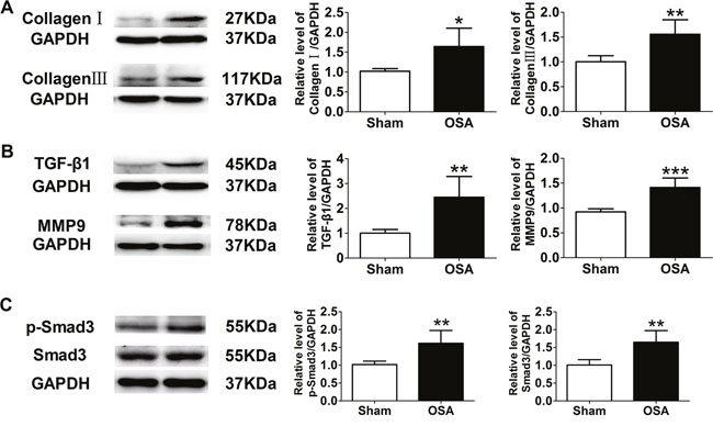Expression of fibrosis-related proteins in sham and chronic OSA canines.