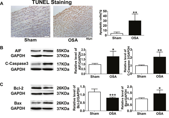 Apoptosis-related factors in sham and chronic OSA canines.
