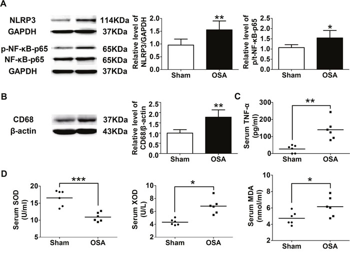 Inflammation and oxidative stress associated factors of sham and chronic OSA dogs.