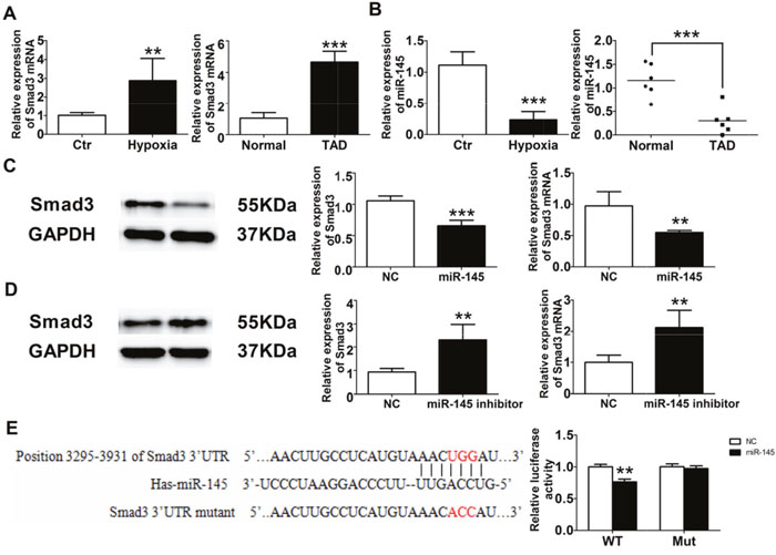 miR-145/Smad3 signal pathway promotes aortic remodeling.