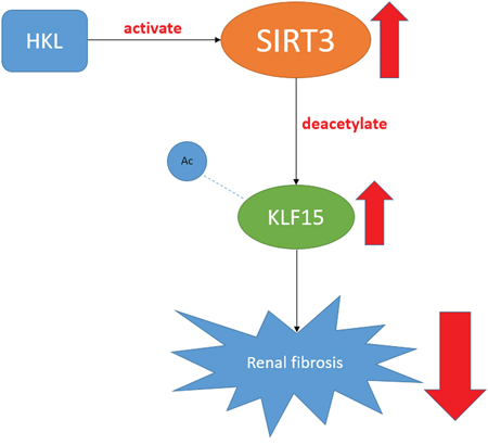 A figure shows the SIRT3-KLF15 signaling pathway.