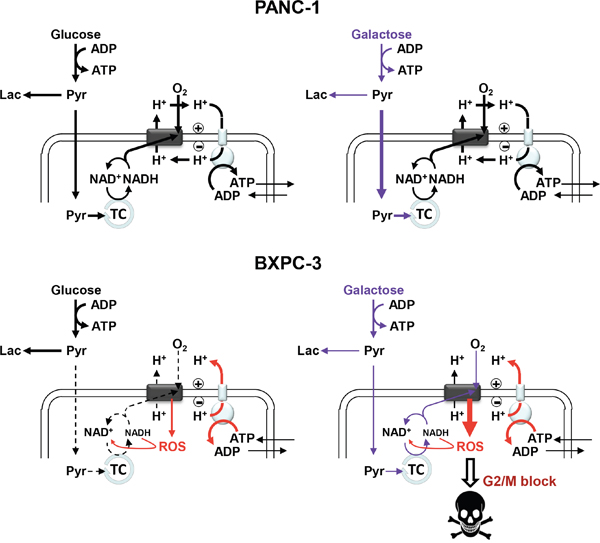 Schematic overview of the main metabolic functions and their alterations following glucose substitution with galactose in PANC-1 and BXPC-3.