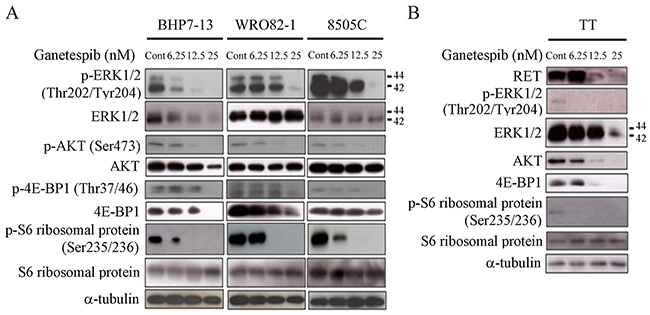 Ganetespib decreases expression of proteins involved in RAS/RAF/ERK and PI3K/AKT/mTOR signaling pathways and reduces RET level.