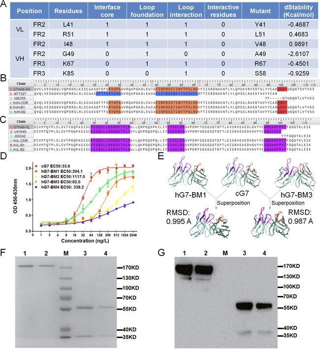 Design and structure prediction of humanized antibodies.