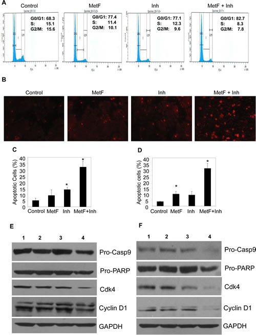 FAAH inhibition enhances Met-F-AEA induced cell cycle arrest and apoptosis at later stage.