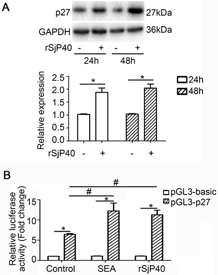 p27 expression was up-regulated in LX-2 cells treated with rSjP40.