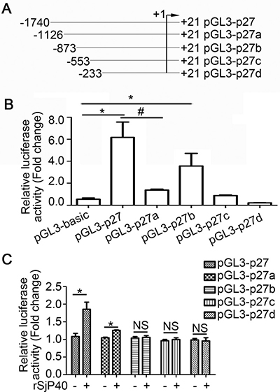 rSjP40 increased p27 promoter activity in LX-2 cells via transcription factors that bind to the -1740/-873 region of the p27 promoter.