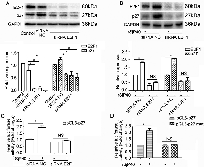 rSjP40 mediated enhancement of p27 promoter activity was related to E2F1 in LX-2 cells.