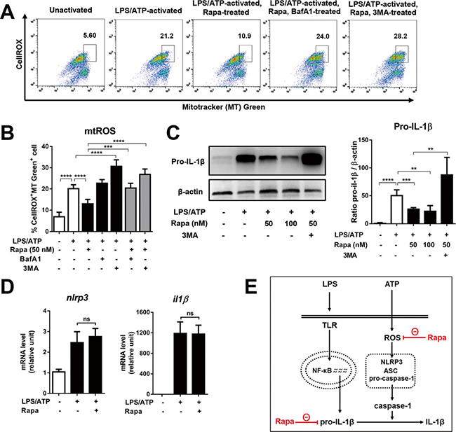 Rapamycin reduces mitochondrial ROS and pro-IL1β, but does not change mRNA levels of NLRP3 and IL-1β.