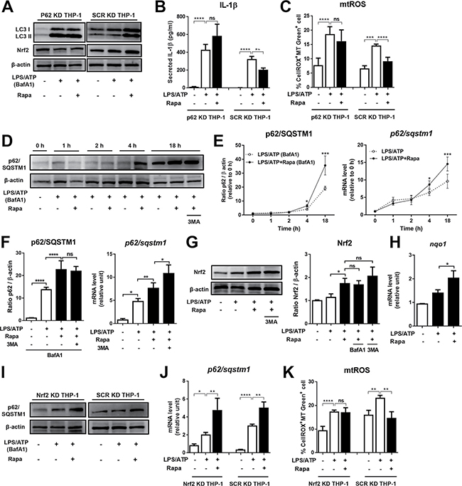 Rapamycin upregulates p62/SQSTM1 and Nrf 2 that are critical for mtROS and NLRP3 inflammasome suppression.