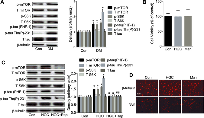 The up-regulated mTOR/S6K signalling causes the formation of tau hyperphosphorylation.
