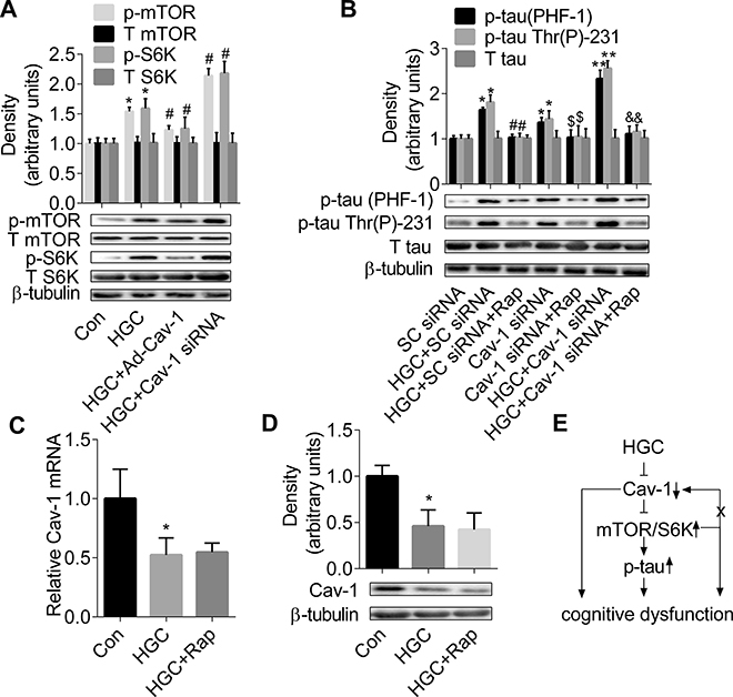mTOR/S6K signalling is required for formation of Cav-1-regulated tau hyperphosphorylation.