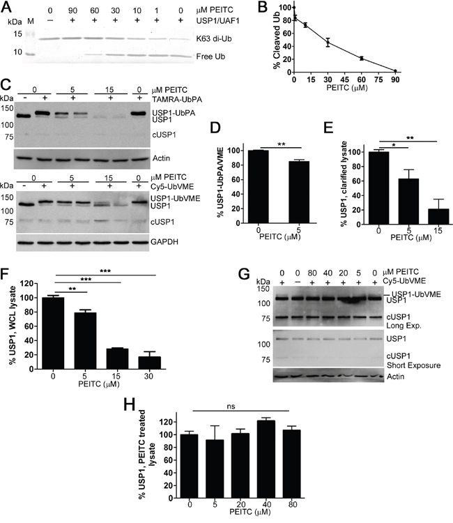 PEITC inhibits recombinant USP1 and leads to USP1 knockdown in living cells.
