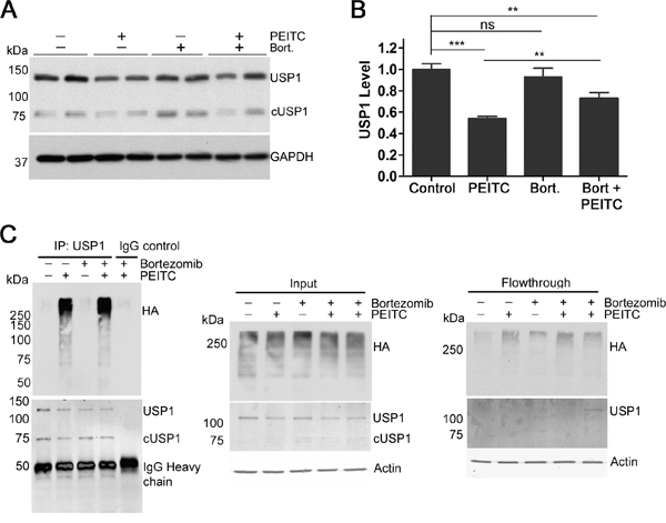 PEITC reduces levels of USP1 by increasing levels of poly-ubiquitinated USP1.