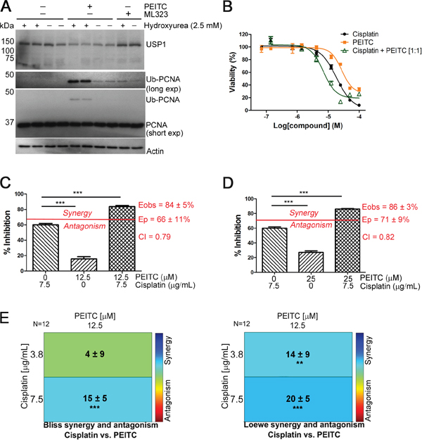 PEITC exerts a synergistic effect on the cisplatin-induced reduction of MCF-7 cell viability.