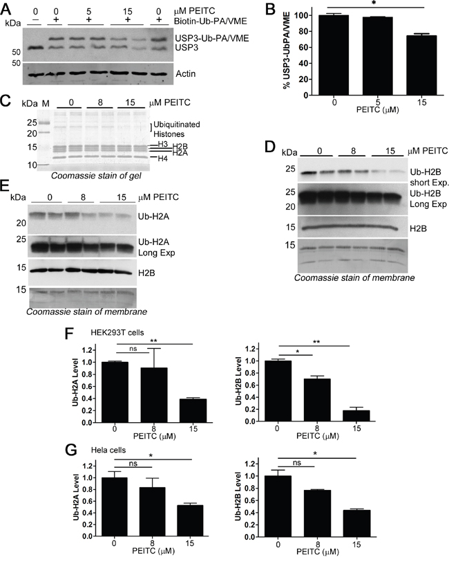 PEITC inhibits histone H2A and H2B deubiquitinases, yet reduces levels of ubiquitinated H2A and H2B.