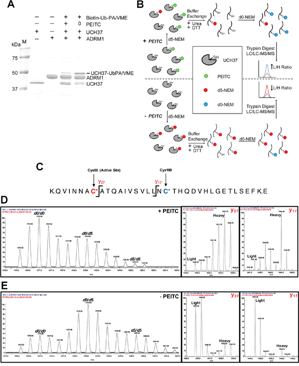 PEITC targets the catalystic cysteine in UCH37.