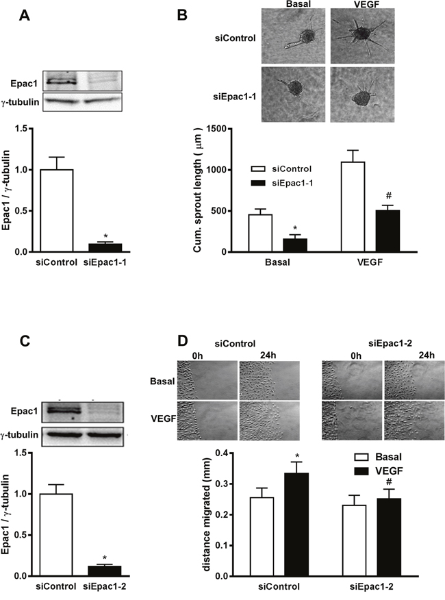 siRNA-mediated depletion of Epac1 in HUVEC impairs basal and VEGF-induced angiogenic responses.