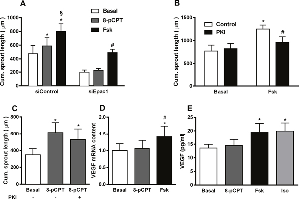 PKA contributes to cAMP-induced increase in sprouting angiogenesis.