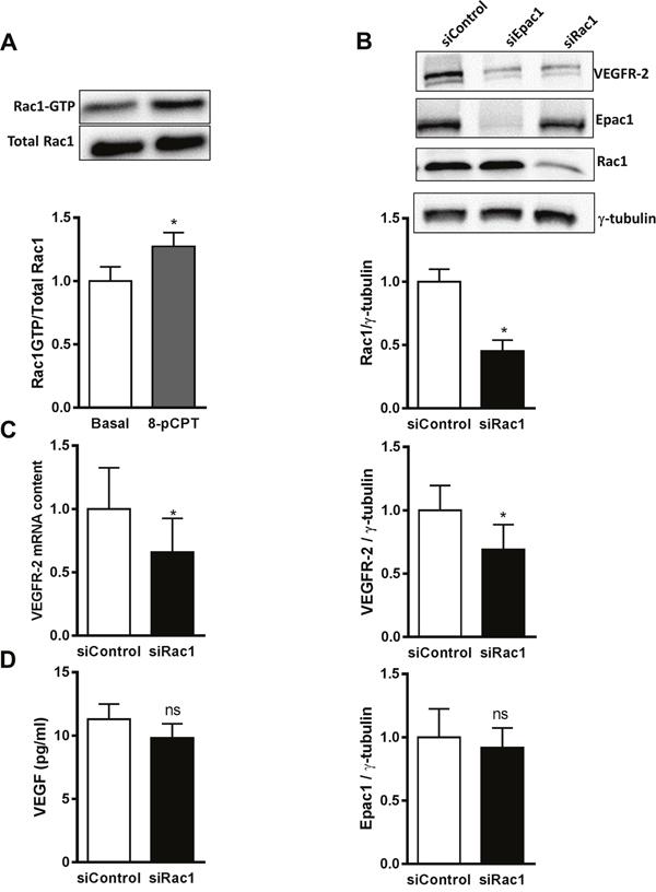 Rac1 as a mediator of Epac1-dependent VEGFR-2 expression.