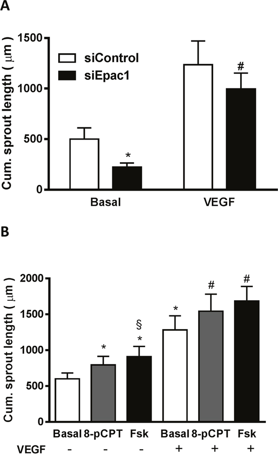 The Epac1-induced upregulation of VEGFR-2 is functionally relevant.