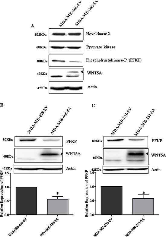 WNT5A signaling inhibits PFKP expression in breast cancer cells.