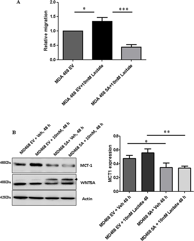 Lactate-induced migration of breast cancer cells is impaired in the presence of WNT5A signaling in MDA-MB-468 cells transfected with WNT5A.