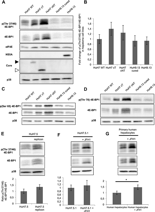 HCV core protein increases the level of phosphorylated 4E-BP1.