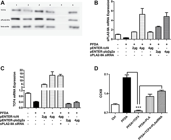 TCF4 and sPLA2-IIA were involved in PFDA-associated cell proliferation promotion.