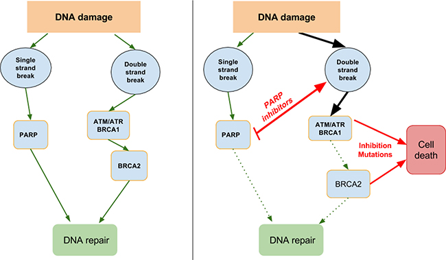 DNA damage repair and synthetic lethality.