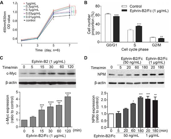 Ephrin-B2 promotes HUVECs proliferation.