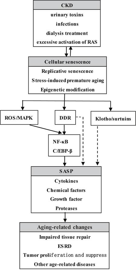Oncotarget | Cellular senescence, senescence-associated