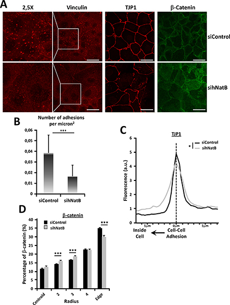 Effects of hNatB downregulation on focal adhesions and cell-cell interactions on PLC/PRF/5 cells.