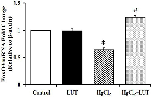 RT-PCR analysis of FoxO3 gene expression levels after HgCl2 treatment and/or luteolin and β-actin was used as an internal control.