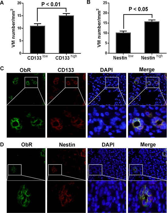 ObR+ glioblastoma cells with GSC markers were involved in VM formation.