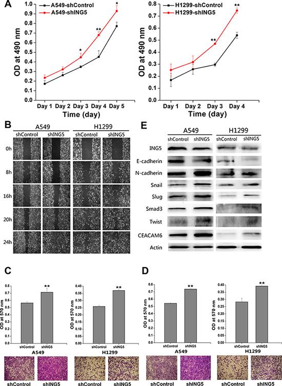 ING5 knockdown promotes lung cancer invasiveness by inducing EMT.
