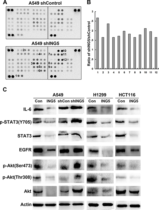 ING5 knockdown activates EGFR/PI3K/Akt and IL-6/STAT3 signaling pathways.