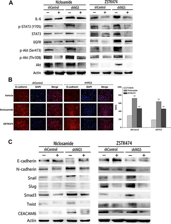 Inhibition of STAT3 or PI3K/Akt pathway reverses ING5 knockdown-induced EMT.