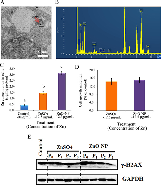 ZnO NPs in CHO-K1 cells and the impacts on cell growth and γ-H2AX.