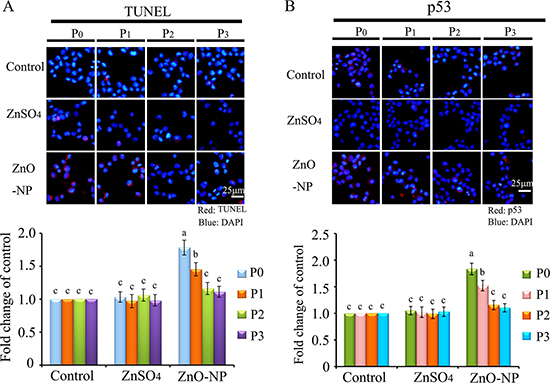 IHF images for TUNEL assay and p53 levels in ZnO NPs treated CHO-K1 cells.