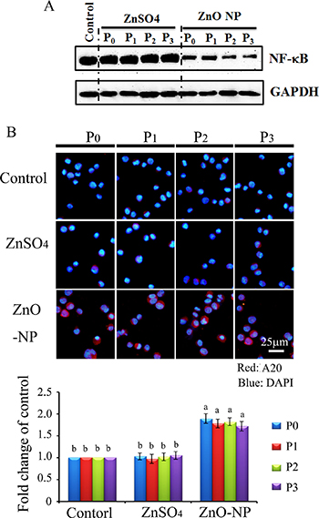 NF-κB major component p65 and A20 in ZnO NPs treated CHO-K1 cells.