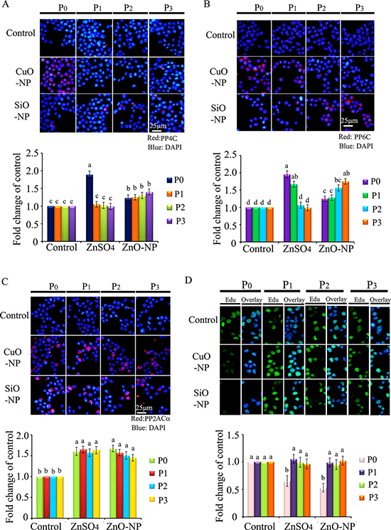 IHF images for de-phosphorylation enzymes PP4C, PP6C, PP2ACα and EdU analysis in CuO and SiO2 NPs treated cells.