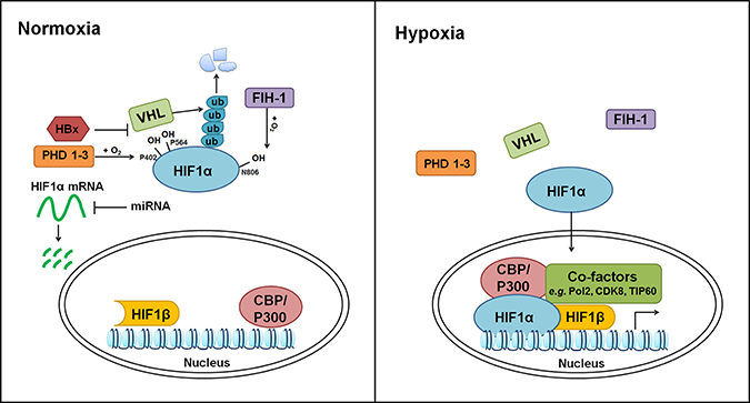 Regulation of hypoxia pathway.