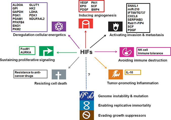 Involvement of HIFs and their targets in cancer hallmarks (modified from the original figure from Hanahan and Weinberg [113]).