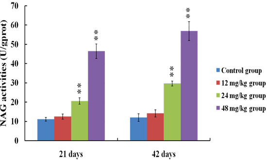 Changes of NAG activities in the urine at 21 and 42 days of the experiment.