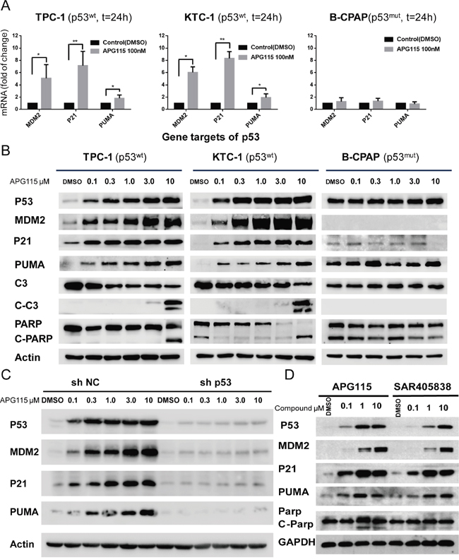 APG115 restores p53 downstream signaling pathway, and elicits apoptosis in p53 wild-type DePTC cells.