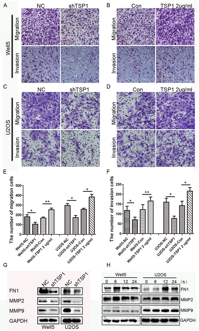 Effects of TSP1 on migration, invasion ability in osteosarcoma cells.
